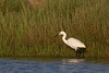 Little egret (Egretta garzetta) in its favourite corner of the saltmarsh