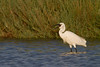 Little egret (Egretta garzetta). Eating a crab