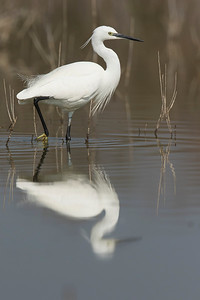 Little egret (Egretta garzetta) in Los Tollos lake