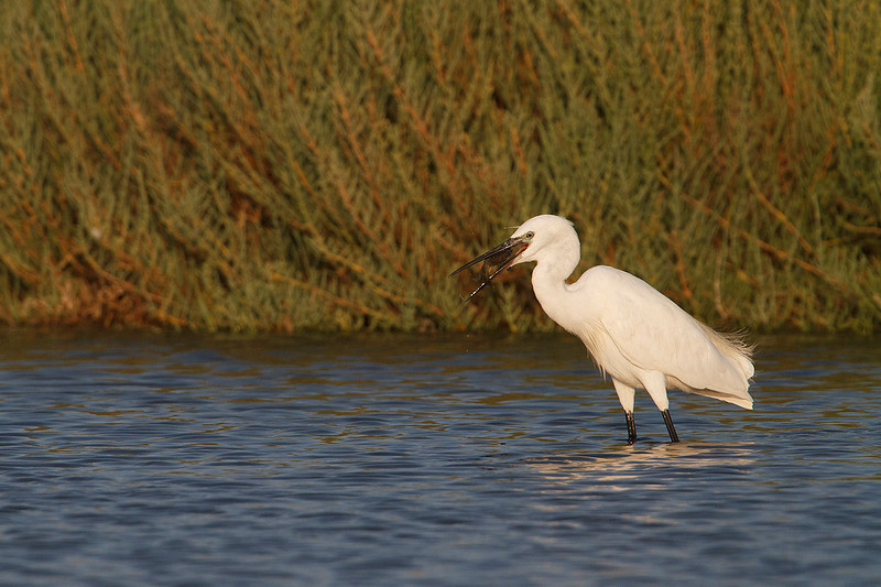 Little egret (Egretta garzetta). Catching a crab