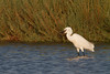 Little egret (Egretta garzetta). Catching a crab