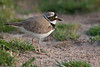 Little ringed plover, Chorlitejo chico