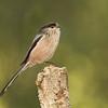 Long tailed tit. Mito (Aegithalos caudatus)