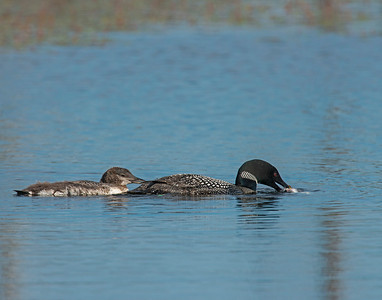 Common Loon, Seney National Wildlife Refuge, MI