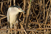 Martinete (Night Heron) (Nycticorax nycticorax)