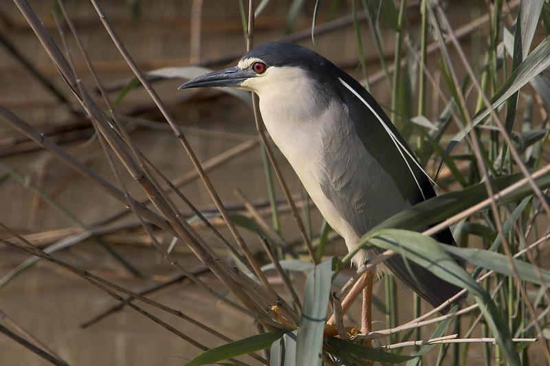 Martinete (Night Heron) (Nycticorax nycticorax)