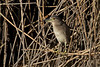 Joven Martinete (Young Night Heron) (Nycticorax nycticorax)