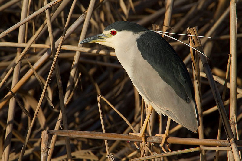 Night Heron. Martinete (Nycticorax nycticorax)