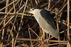 Night Heron. Martinete (Nycticorax nycticorax)