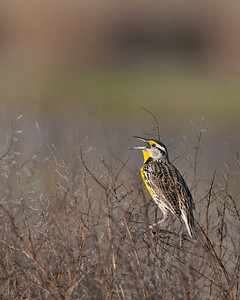 Meadow Lark, Hackberry Flats Wildlife Management Area, OK