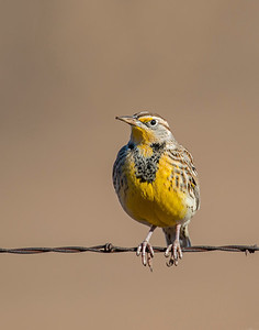 Meadow Lark, Wichita Mountains Wildlife Refuge, OK