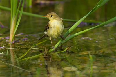 Melodious warbler having a bath in a pond near Jerez de la Frontera