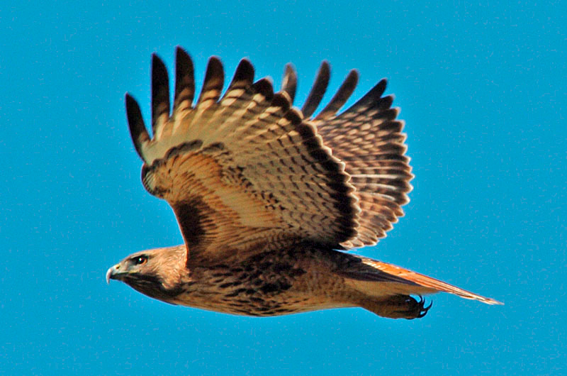 6253 Red-tailed Hawk flying