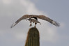 Harris's Hawk on saguaro cactus wings spread on one foot cropped