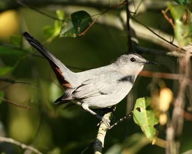 Gray Catbirds