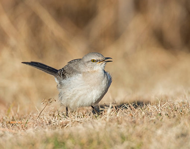 Northern Mockingbird, Taylor Lake, OK