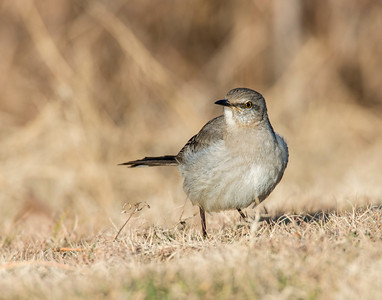 Northern Mockingbird, Taylor Lake, OK