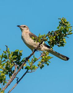 Mocking Bird, Hackberry Flats Wildlife Management Area, OK