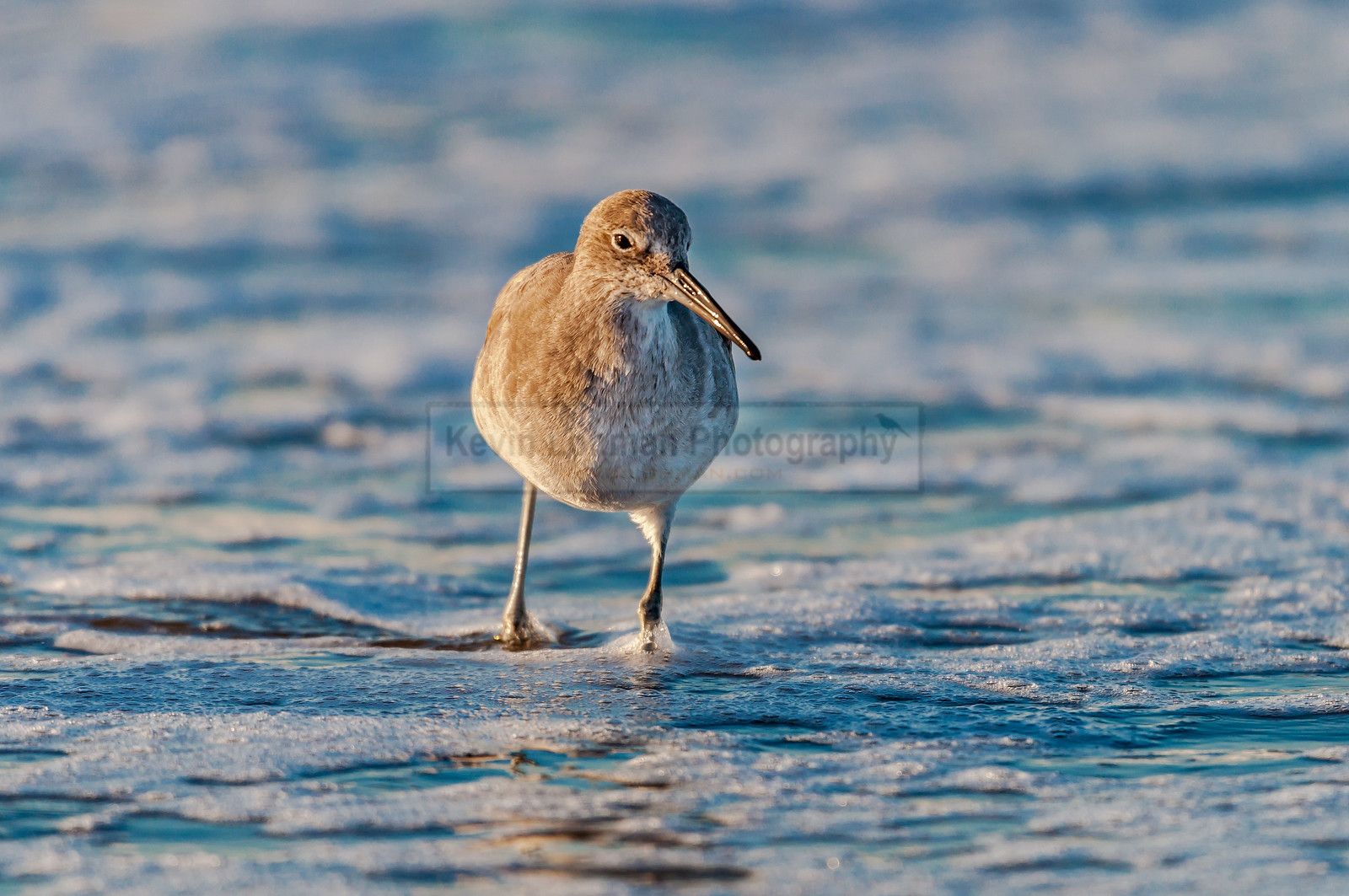 Willet in the Surf