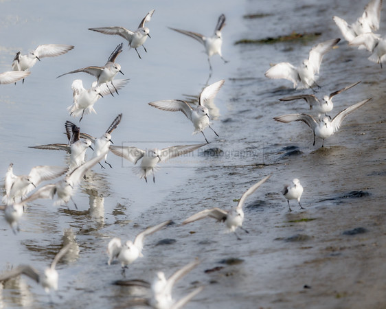 Sanderlings Landing on Mudflat