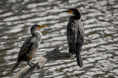 Double-Crested Cormorants on Branch