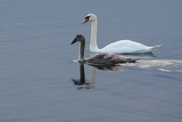 Mute Swans in Stennes (Orkney)
