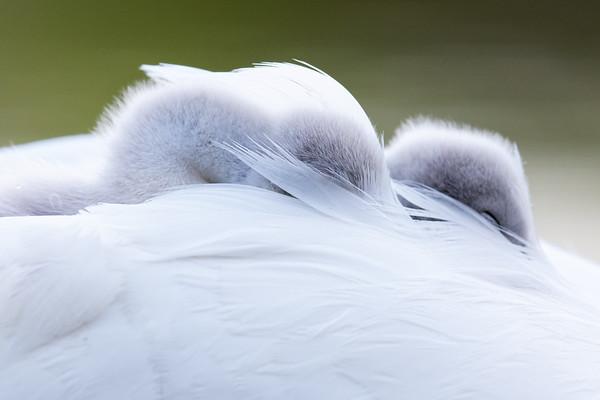 Mute Swan Cygnet