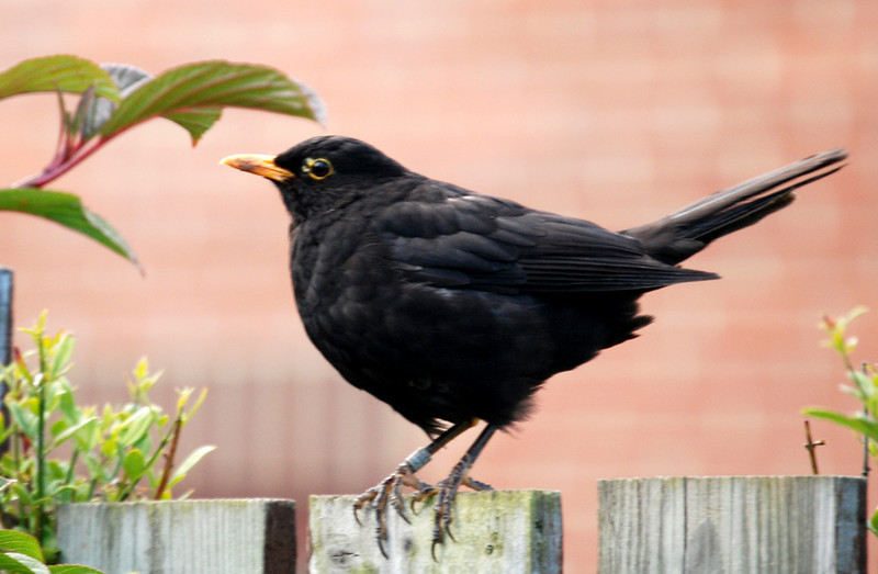 Blackbird on my garden fence - seems to have been ringed at some time?