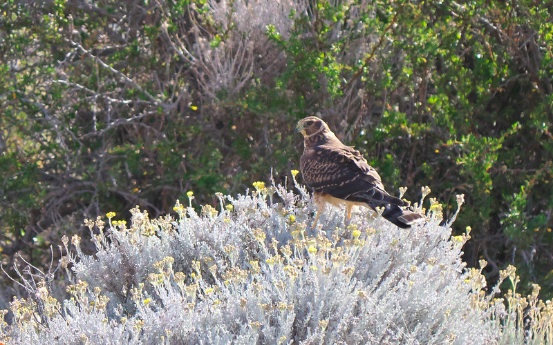 Cinereous Harrier, Circus cinereus