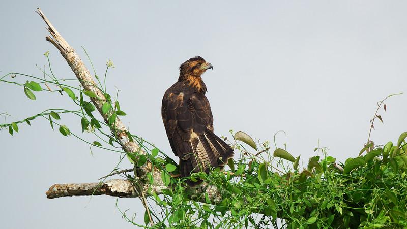 Great Black Hawk, Buteogallus urubitinga