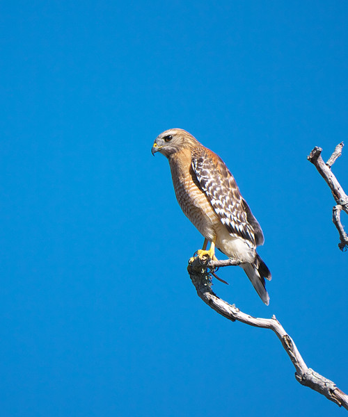 Red-shouldered Hawk, Buteo lineatus