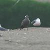 Gray Gull, Leucophaeus modestus
