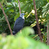 Gray-headed Kite, Leptodon cayanensis
