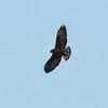 Short-tailed Hawk, Buteo brachyurus