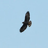 Short-tailed Hawk, Buteo brachyurus