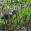 Gray-headed Swamphen, Porphyrio poliocephalus