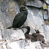 European Shag, Phalacrocorax aristotelis