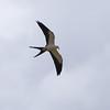 Swallow-tailed Kite, Elanoides forficatus