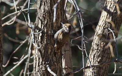 Arizona Woodpecker, Picoides arizonae