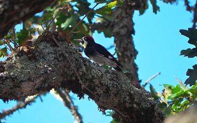 Acorn Woodpecker, Melanerpes formicivorus
