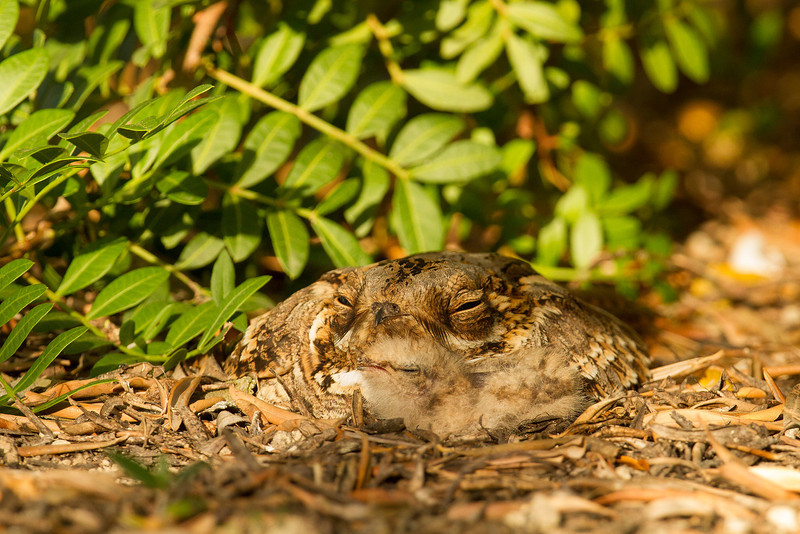 Red-necked Nightjar and chick