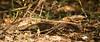 Red-necked Nightjar (Caprimulgus ruficollis)<br /> Chotacabras pardo (o cuellirojo)