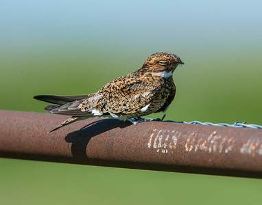 Common Nighthawk, Hackberry Flats Wildlife Management Area, OK