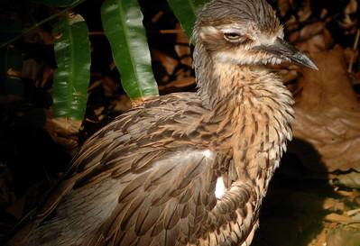 Bush Thick-knee, Burhinus grallarius. Territory Wildlife Park, NT, Australia. October 2009