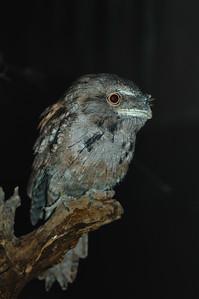 Tawny Frogmouth, Aegotheles cristatus. Territory Wildlife Park, NT, Australia. May 2008
