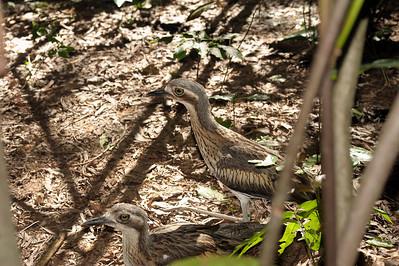 Bush Thick-knee, Burhinus grallarius. Territory Wildlife Park, NT, Australia. March 2012