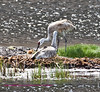 This photo of two sand hill cranes with a chick ws photographed in Yellowstone at floating island lake.