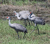 Four cranes walking in the grass