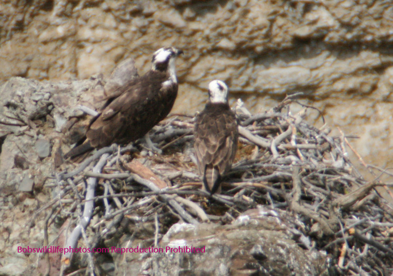 Two osprey in nest located on side of canyon near Tower Falls, Yellowstone.