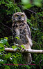Kenai pensiula swan lake rd., owl